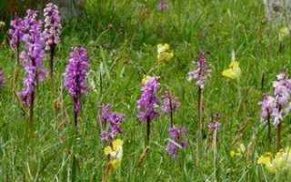 Дикая орхидея цветок