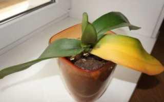 Почему у орхидеи желтеет стебель