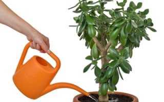 Денежное дерево полив