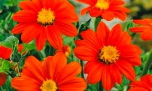 Тоя цветок