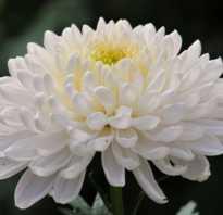 Хризантема игольчатая