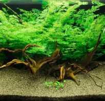 Аквариумное растение папоротник индийский