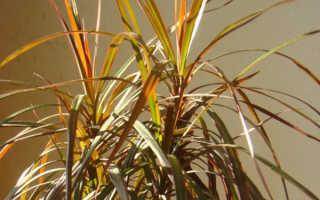 Драцена желтеют листья причина