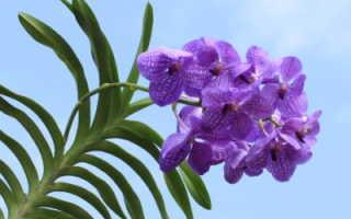 Орхидея ванда голубая
