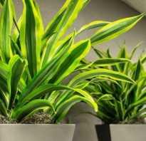 Драцена деремская уход в домашних условиях