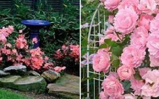 Роза овеян
