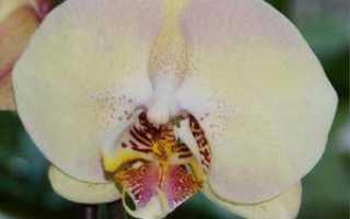 Фаленопсис мандала