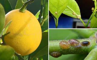 Щитовка на лимоне