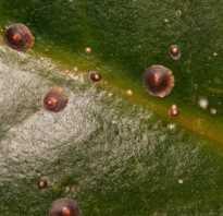 Липкие капли на листьях комнатных растений