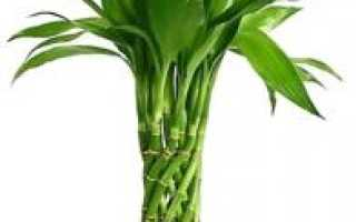 Бамбук в вазе с водой