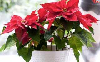 Цветок с красными листьями название