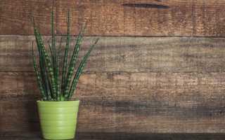 Сансевиерия цилиндрическая уход в домашних условиях