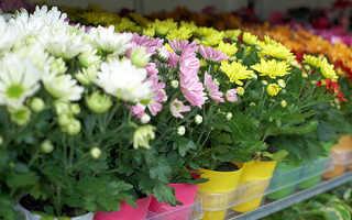 Как прищипывать хризантему