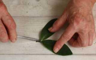 Как вырастить замиокулькас из веточки