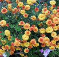 Дубок цветок