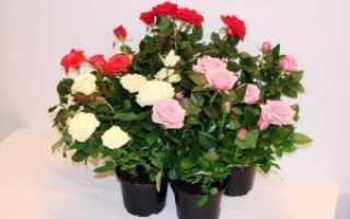 Как ухаживать за декоративной розой