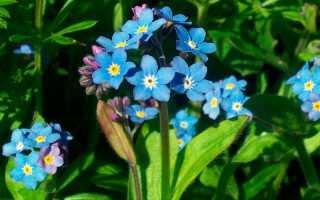 Когда цветут незабудки
