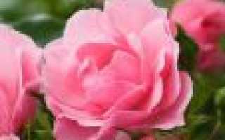 Как взять отросток у розы