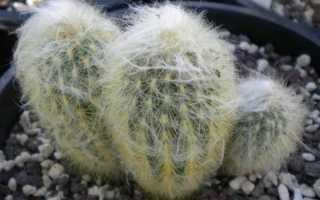 Лохматый кактус