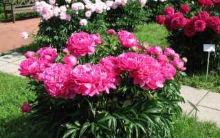 Клумбы с пионами и другими цветами