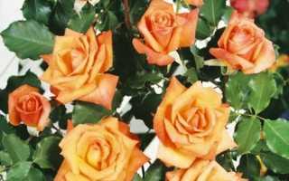 Роза плетистая лиана