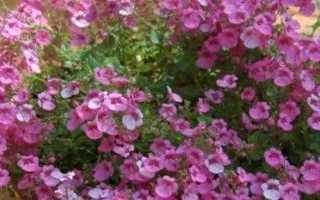 Цветок диасция