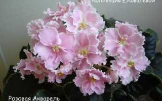 Фиалка розовая акварель