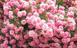 Канадская роза джон дэвис