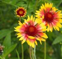 Гайлардия крупноцветковая