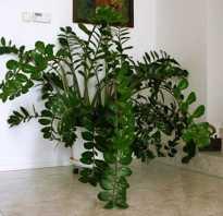 Как рассадить замиокулькас в домашних условиях