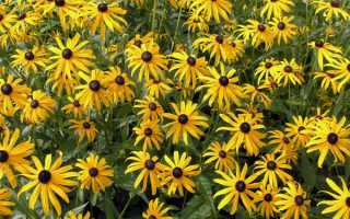 Высокие желтые цветы многолетники