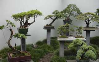 Сколько растет бонсай