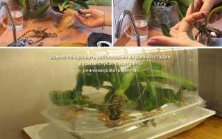 Засохла орхидея как спасти