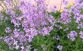 Цветок ночная фиалка
