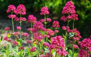 Красный садовый цветок