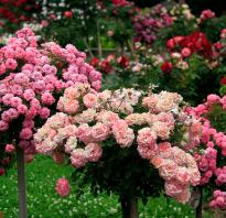 2 х метровые розы