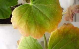 Желтеют листья у герани что делать