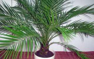 Можно ли держать дома пальму