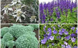 Засухоустойчивые цветы для клумбы многолетние