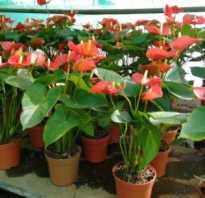 Как вырастить антуриум из семян