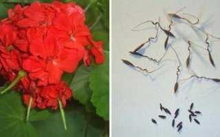 Выращивание пеларгония из семян в домашних условиях