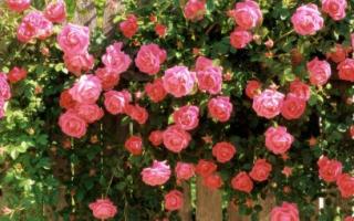 Роза ампельная