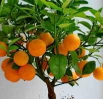 Как цветет апельсин