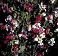 Название цветов на букву г
