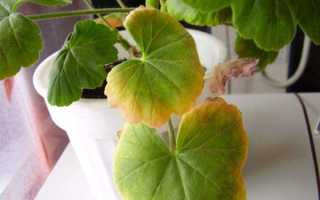 У герани краснеют листья причина
