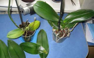 Реанимация орхидеи без листьев
