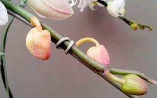 Почему не распускаются бутоны у орхидеи