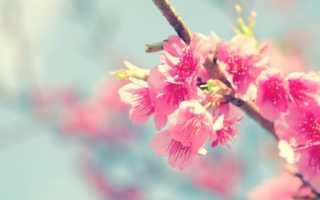 Сакура что это за дерево плоды