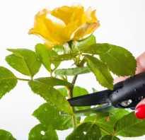 Как обрезать домашнюю розу в горшке