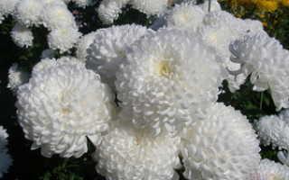 Желтые хризантемы значение
